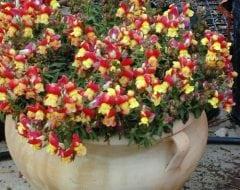 לוע-ארי גדול (זנים ננסיים) - עצי נוי | הדר נוי משתלות