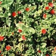 אפטניה לבובה - עצי נוי | הדר נוי משתלות