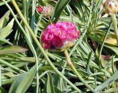 ארמריה ימית - עצי נוי | הדר נוי משתלות
