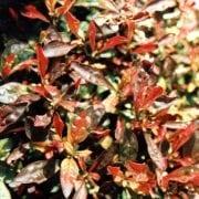 ביצן רב-גוני (אוסטרלי) - עצי נוי | הדר נוי משתלות