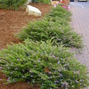 גבנון בן-אזוב (קופאה) - עצי נוי | הדר נוי משתלות