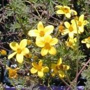 דושן גזור-עלים (בידנס) - עצי נוי | הדר נוי משתלות