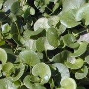 דיכונדרה זוחלת - עצי נוי | הדר נוי משתלות
