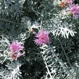 דרדר חשוף-פרי - עצי נוי | הדר נוי משתלות