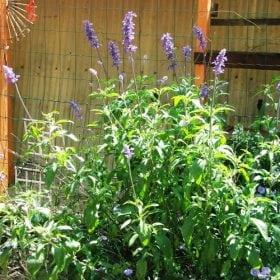 מרווה קמחית - עצי נוי | הדר נוי משתלות