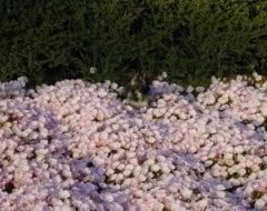נר לילה נאה (ורוד) - עצי נוי | הדר נוי משתלות