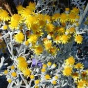 סביון מלבין - עצי נוי | הדר נוי משתלות