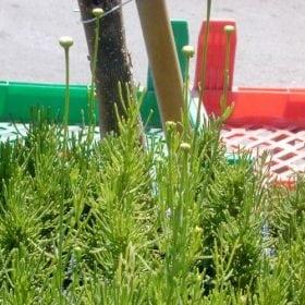 סנטולינה ירוקה - עצי נוי | הדר נוי משתלות