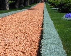 סנטולינה ננסית - עצי נוי | הדר נוי משתלות
