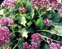 עדעד קנרי - עצי נוי | הדר נוי משתלות