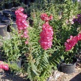 פנסטמון גדול פרחים - עצי נוי | הדר נוי משתלות