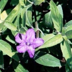 רואליה ריסנית - עצי נוי | הדר נוי משתלות