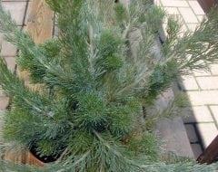 אדננתוס משייני - עצי נוי | הדר נוי משתלות