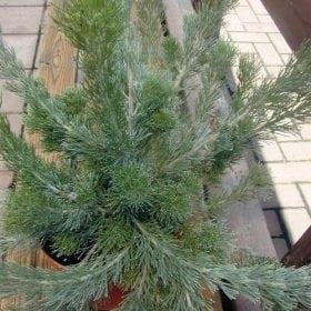 אדננתוס משייני - עצי נוי   הדר נוי משתלות