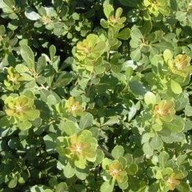 אוג חרוק - עצי נוי | הדר נוי משתלות