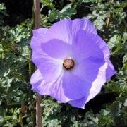 אליוגינה היגל - עצי נוי | הדר נוי משתלות