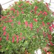 אקליפה מגוונת - עצי נוי | הדר נוי משתלות