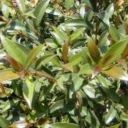 אקמנת סמית - עצי נוי | הדר נוי משתלות