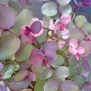בראיניה - עצי נוי | הדר נוי משתלות