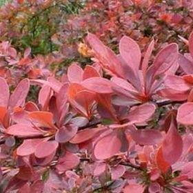 ברברית יפנית (ארגמני) - עצי נוי   הדר נוי משתלות