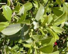 גויאבה תותית - עצי נוי | הדר נוי משתלות