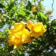 דק פרי מכונף - עצי נוי | הדר נוי משתלות