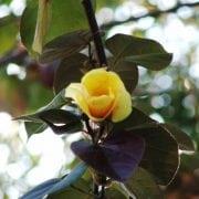 היביסקוס טלייתי (סתריה) - עצי נוי   הדר נוי משתלות