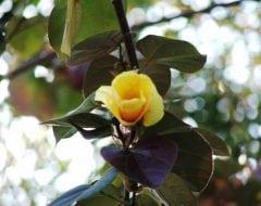 היביסקוס טלייתי (סתריה) - עצי נוי | הדר נוי משתלות