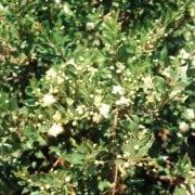 הדס מצוי - עצי נוי | הדר נוי משתלות