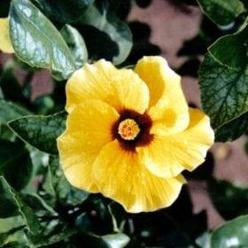 היביסקוס סיני - עצי נוי | הדר נוי משתלות
