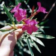 הרדוף הנחלים - עצי נוי | הדר נוי משתלות