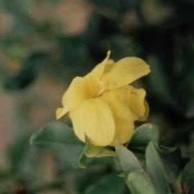 יסמין גדול פרחים - עצי נוי   הדר נוי משתלות