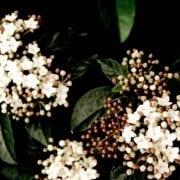 מורן החורש - עצי נוי | הדר נוי משתלות