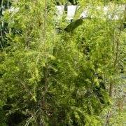 מללוירה מחופה (רבולושן גולד) - עצי נוי   הדר נוי משתלות
