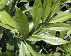 סהרון קשה - עלים - עצי נוי | הדר נוי משתלות