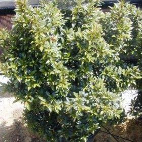 סיזיגיום מכבדי - עצי נוי | הדר נוי משתלות