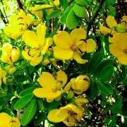 סנה סוכנית (כסיה סוככנית) - עצי נוי | הדר נוי משתלות