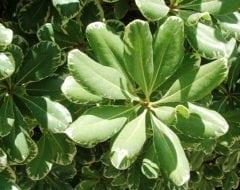 פיטוספורום יפני (מגוון) - עצי נוי | הדר נוי משתלות