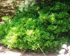 פיטוספורום יפני (ננסי) - עצי נוי | הדר נוי משתלות
