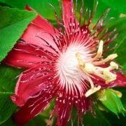 פירקנתה אדומה - עצי נוי | הדר נוי משתלות