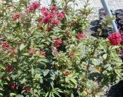 צסטרום (בכחוס) - עצי נוי | הדר נוי משתלות