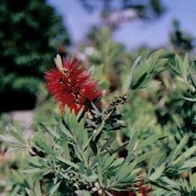קליסטמון הנצרים (ליטל ג'והן) - עצי נוי | הדר נוי משתלות