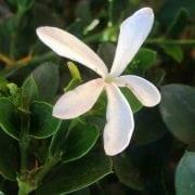 קריסה גדולת פרחים - עצי נוי | הדר נוי משתלות