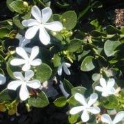 קריסה גדולת פרחים (גרין קרפיט) - עצי נוי | הדר נוי משתלות