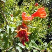 רימון מצוי (ננסי) - עצי נוי | הדר נוי משתלות
