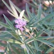 שיח - אברהם מצוי - עצי נוי | הדר נוי משתלות