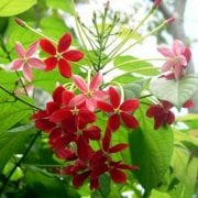 אלמון הודי - עצי נוי | הדר נוי משתלות