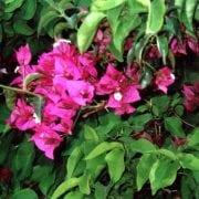 בוגנוויליה חלקה - עצי נוי | הדר נוי משתלות