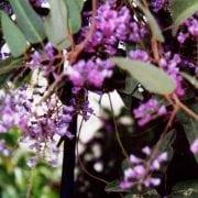 הרדנברגיה תלתנית - עצי נוי | הדר נוי משתלות