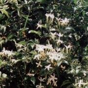 יסמין אזורי - עצי נוי | הדר נוי משתלות